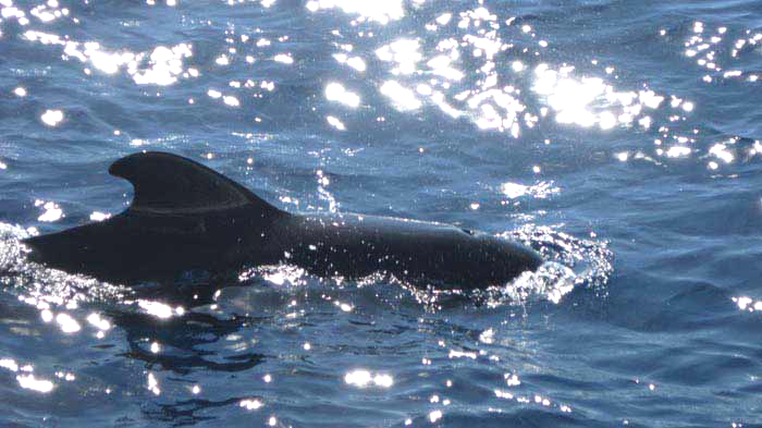 Excursion Observation de baleines et de dauphins lors d'une catamaran